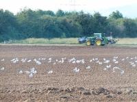 Möwen begleiten den Bauern im Praunheimer Feld